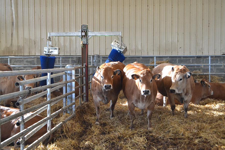 Rouleau de massage pour les vaches